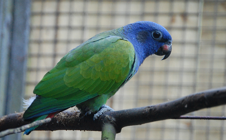 blue head pionus parrot