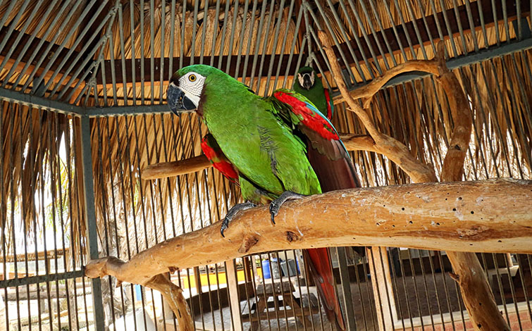 chestnut fronted macaw - ara severus